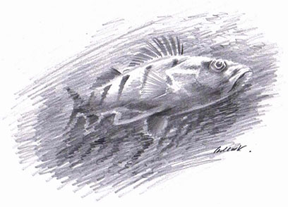 Perch drawing by Paul Cook