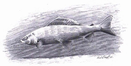 Fish illustration by Paul Cook