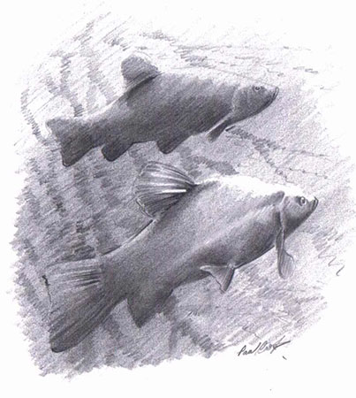 Fish drawing by Paul Cook