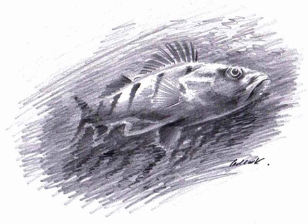 Fish drawn with pencil